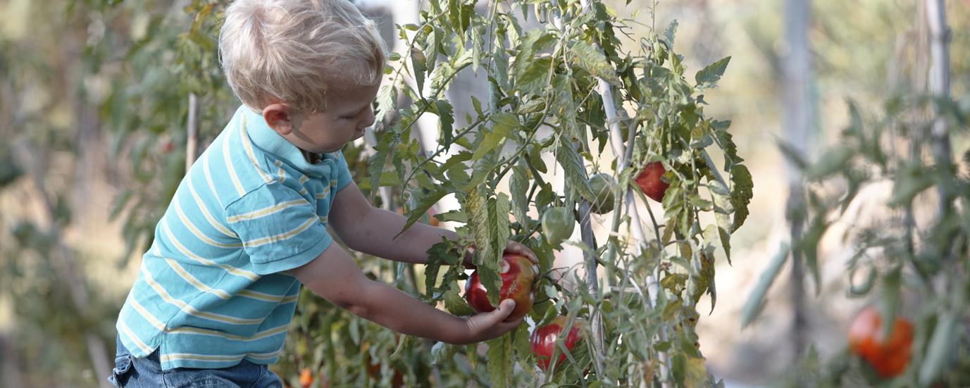 Gino-tomates-bio